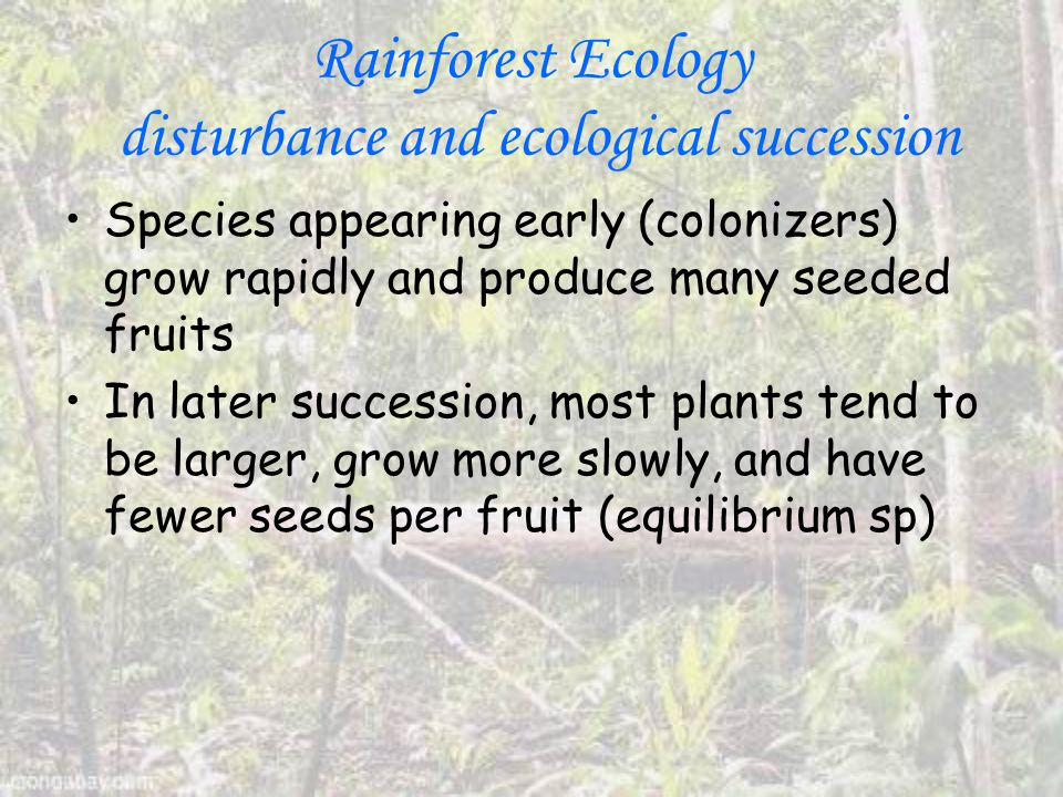 Rainforest Ecology disturbance and ecological succession Species appearing early (colonizers) grow rapidly and produce many seeded fruits In later succession, most plants tend to be larger, grow more slowly, and have fewer seeds per fruit (equilibrium sp)