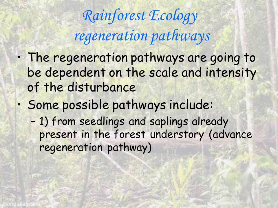 Rainforest Ecology regeneration pathways The regeneration pathways are going to be dependent on the scale and intensity of the disturbance Some possible pathways include: –1) from seedlings and saplings already present in the forest understory (advance regeneration pathway)