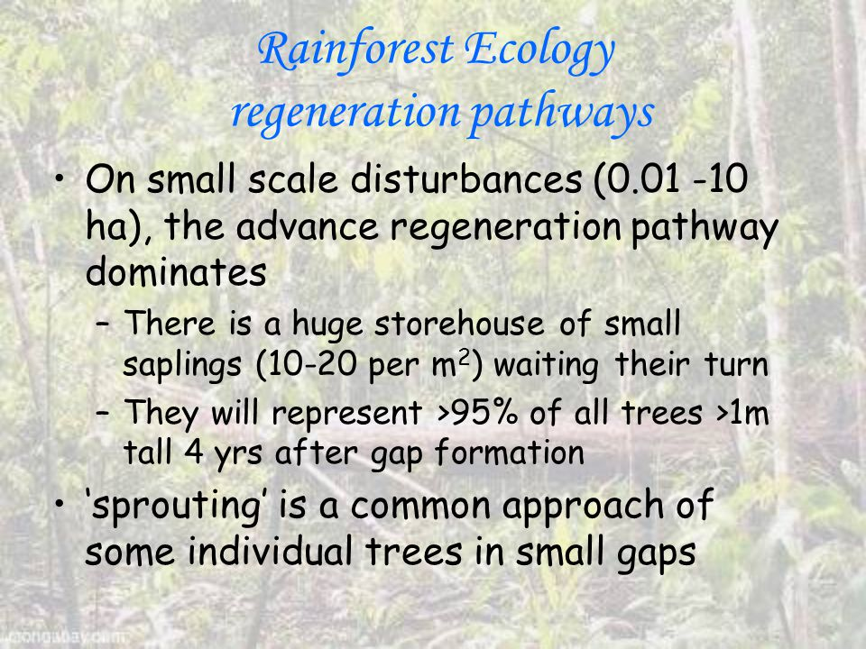 Rainforest Ecology regeneration pathways On small scale disturbances (0.01 -10 ha), the advance regeneration pathway dominates –There is a huge storehouse of small saplings (10-20 per m 2 ) waiting their turn –They will represent >95% of all trees >1m tall 4 yrs after gap formation 'sprouting' is a common approach of some individual trees in small gaps