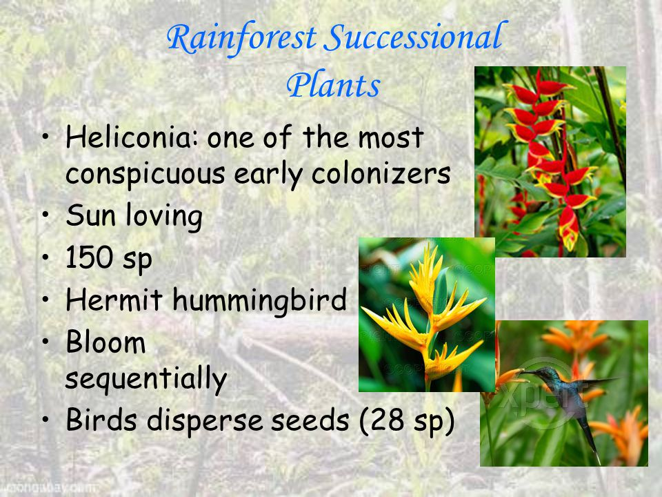 Rainforest Successional Plants Heliconia: one of the most conspicuous early colonizers Sun loving 150 sp Hermit hummingbird Bloom sequentially Birds disperse seeds (28 sp)