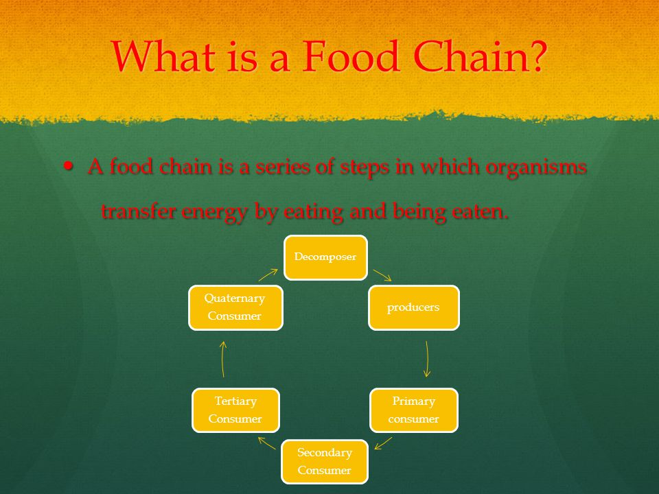 What is a Food Chain.