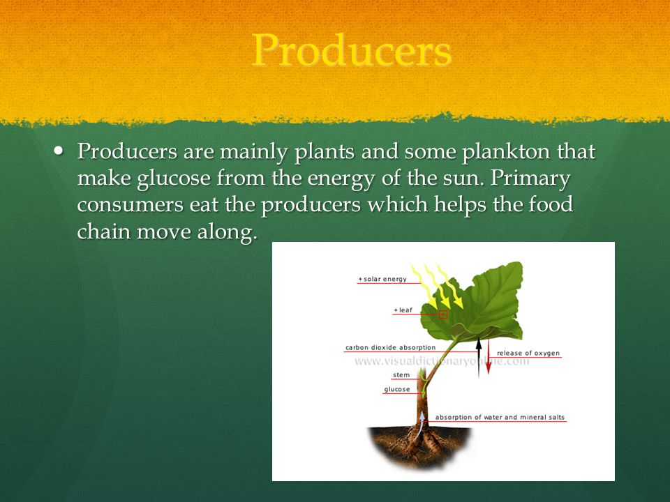 Producers Producers are mainly plants and some plankton that make glucose from the energy of the sun.