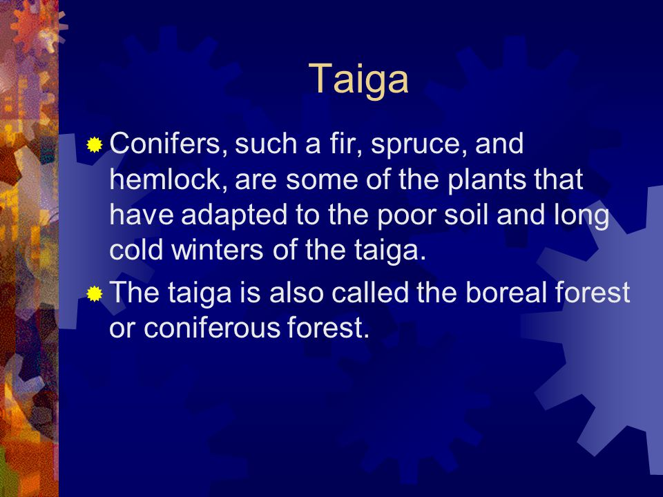 Taiga  Conifers, such a fir, spruce, and hemlock, are some of the plants that have adapted to the poor soil and long cold winters of the taiga.  The