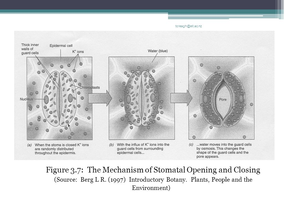 The Aerial Structure Of The Vine Figure 3.7: The Mechanism of Stomatal Opening and Closing (Source: Berg L R. (1997) Introductory Botany. Plants, Peop