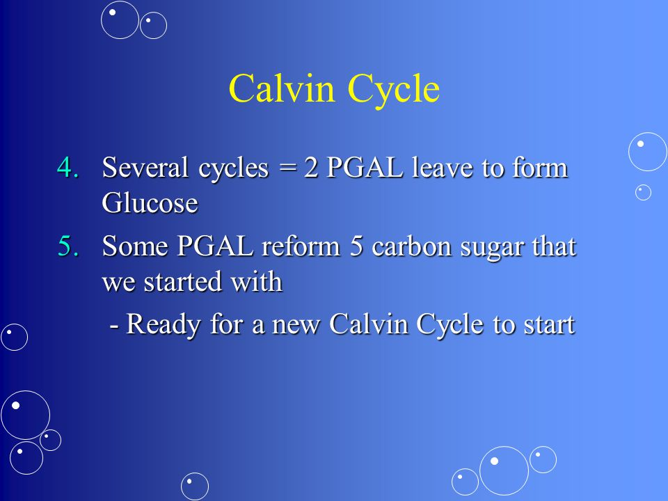 Calvin Cycle 4.Several cycles = 2 PGAL leave to form Glucose 5.Some PGAL reform 5 carbon sugar that we started with - Ready for a new Calvin Cycle to start - Ready for a new Calvin Cycle to start