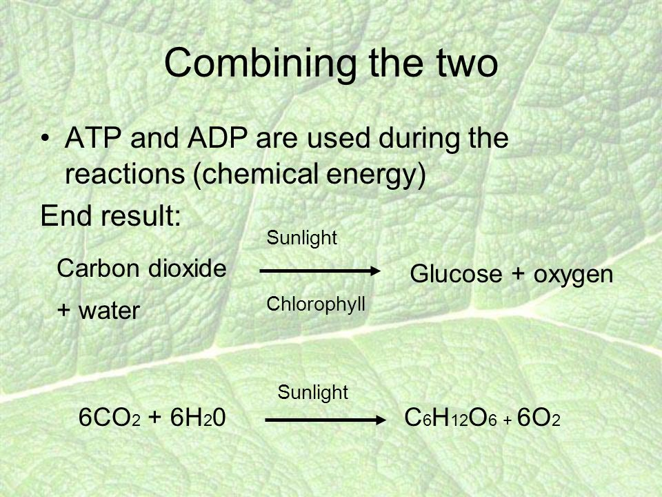 Combining the two ATP and ADP are used during the reactions (chemical energy) End result: Carbon dioxide + water Sunlight Chlorophyll Glucose + oxygen 6CO 2 + 6H 2 0C 6 H 12 O 6 + 6O 2 Sunlight