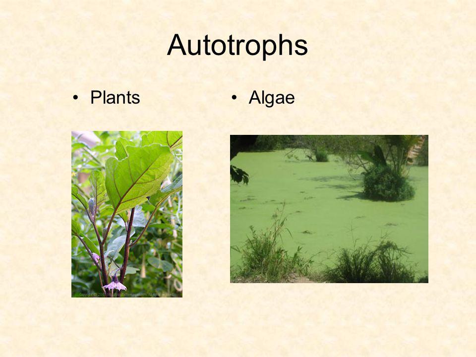 Autotrophs PlantsAlgae