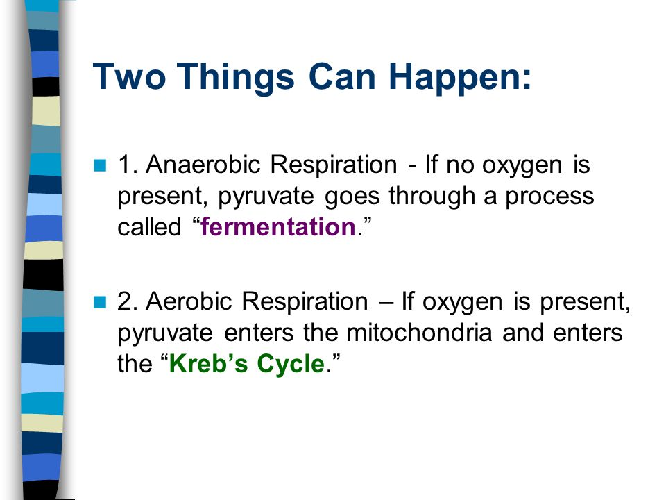 """Two Things Can Happen: 1. Anaerobic Respiration - If no oxygen is present, pyruvate goes through a process called """"fermentation."""" 2. Aerobic Respirati"""