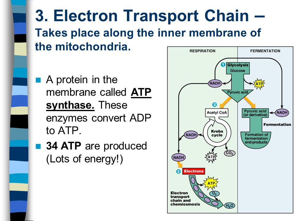 3. Electron Transport Chain – Takes place along the inner membrane of the mitochondria. A protein in the membrane called ATP synthase. These enzymes c