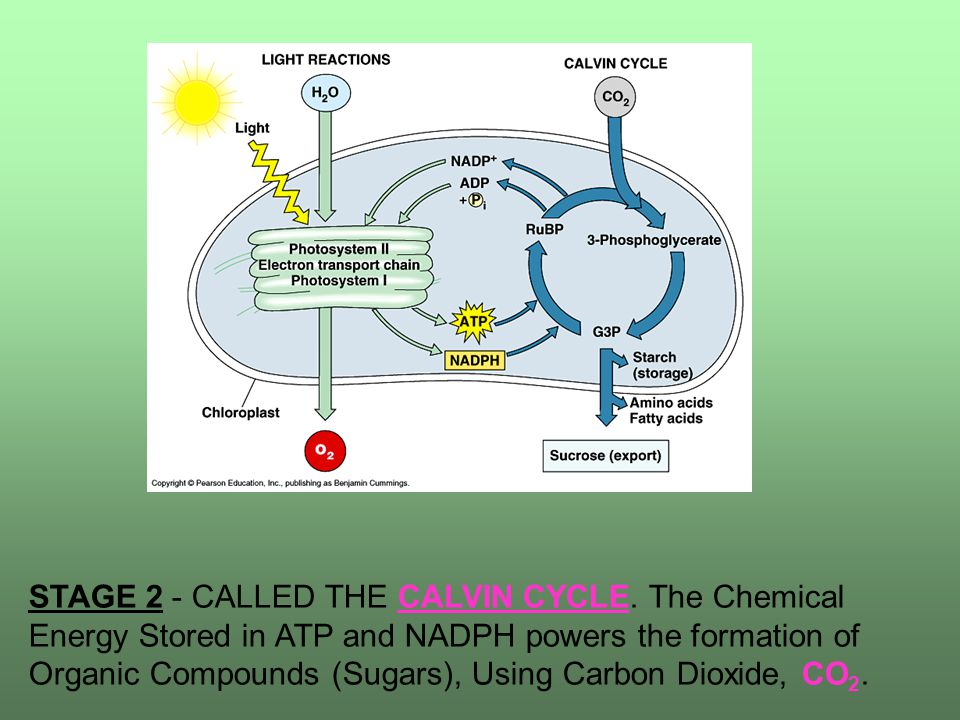 STAGE 2 - CALLED THE CALVIN CYCLE.