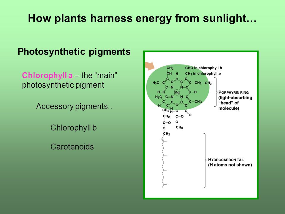 How plants harness energy from sunlight… Photosynthetic pigments Chlorophyll a – the main photosynthetic pigment Chlorophyll b Accessory pigments..