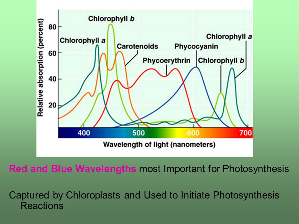 Red and Blue Wavelengths most Important for Photosynthesis Captured by Chloroplasts and Used to Initiate Photosynthesis Reactions