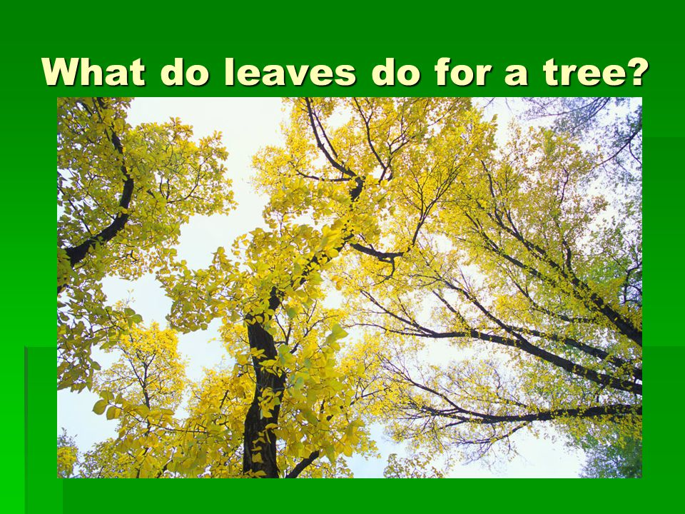 What do leaves do for a tree