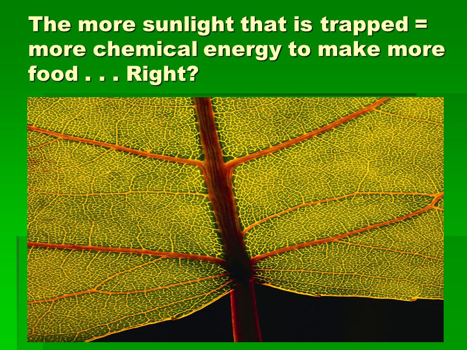 The more sunlight that is trapped = more chemical energy to make more food... Right