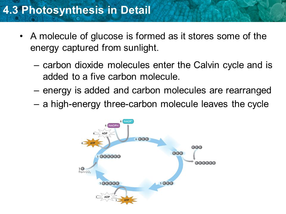 4.3 Photosynthesis in Detail A molecule of glucose is formed as it stores some of the energy captured from sunlight. –carbon dioxide molecules enter t