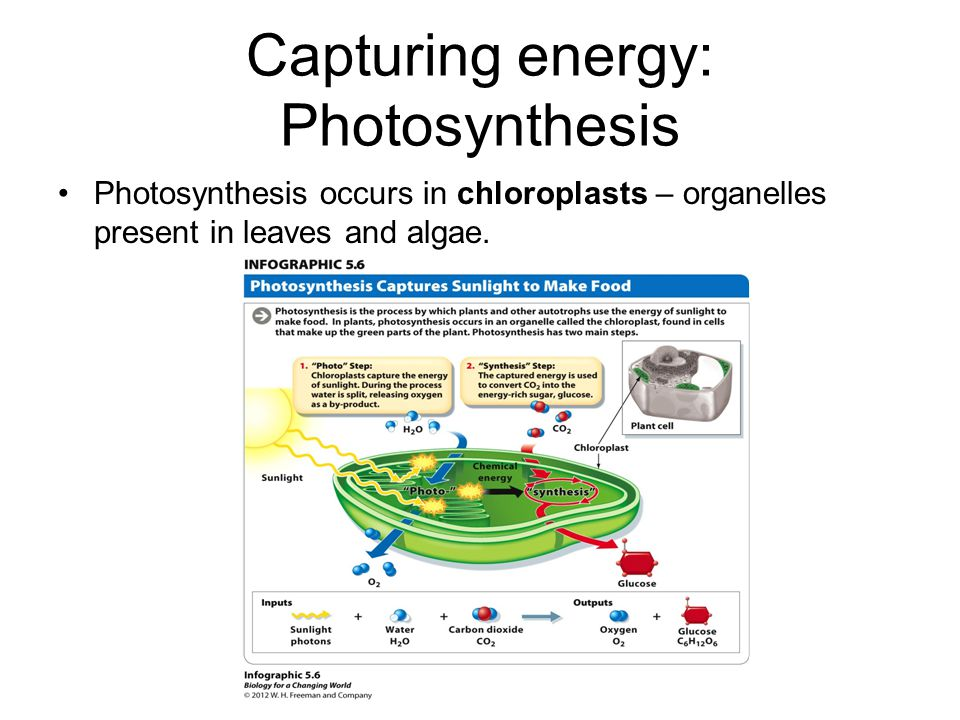 Capturing energy: Photosynthesis Photosynthesis occurs in chloroplasts – organelles present in leaves and algae.