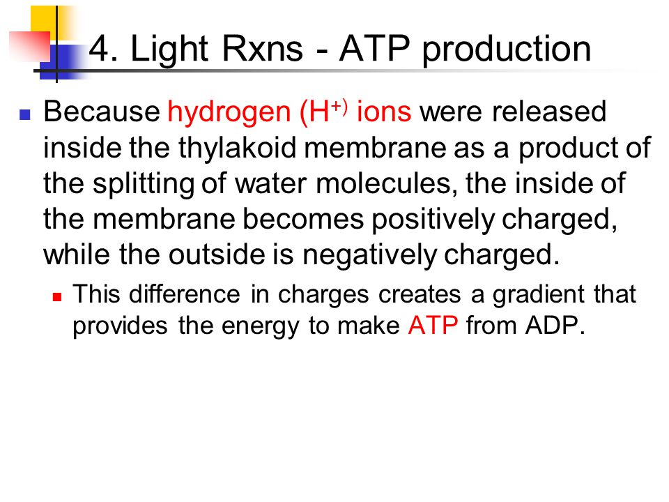 4. Light Rxns - ATP production Because hydrogen (H +) ions were released inside the thylakoid membrane as a product of the splitting of water molecule
