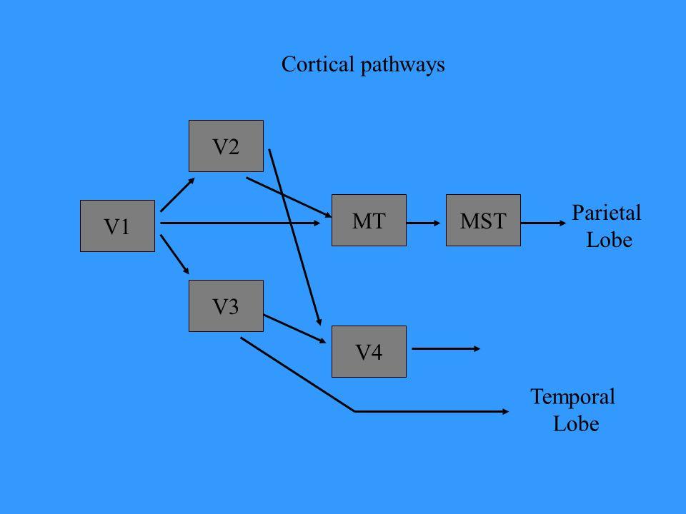 V1 V2 V3 MT V4 MST Parietal Lobe Temporal Lobe Cortical pathways