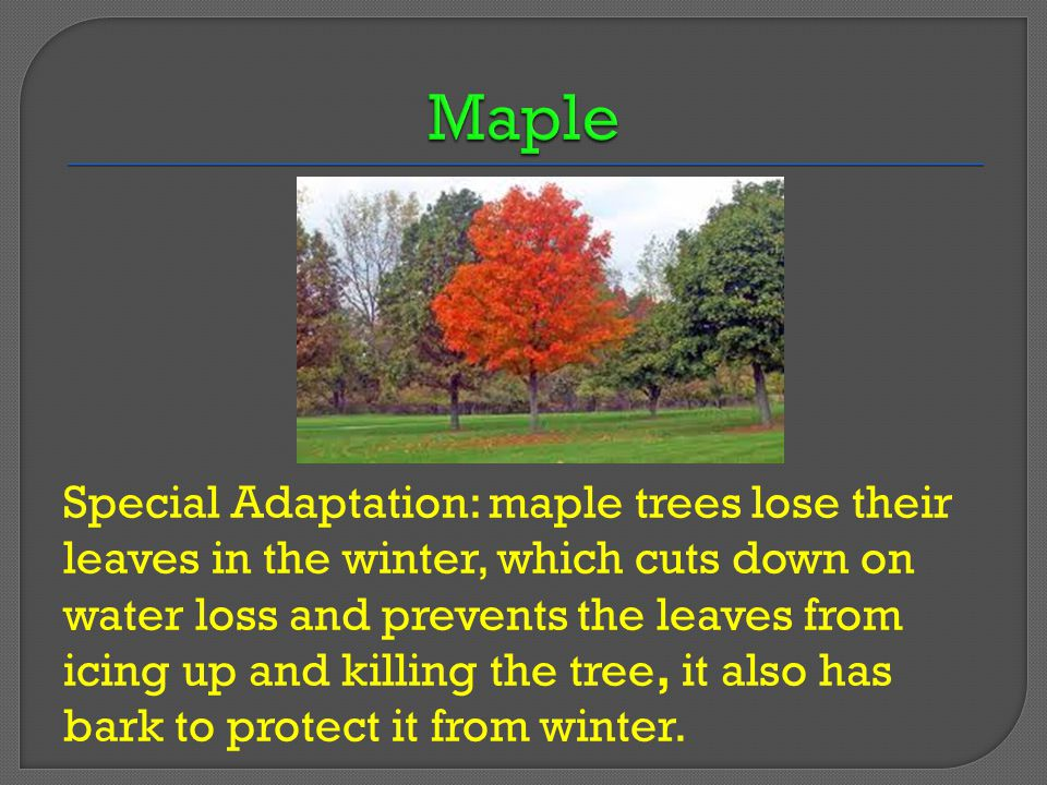 Special Adaptation: maple trees lose their leaves in the winter, which cuts down on water loss and prevents the leaves from icing up and killing the tree, it also has bark to protect it from winter.