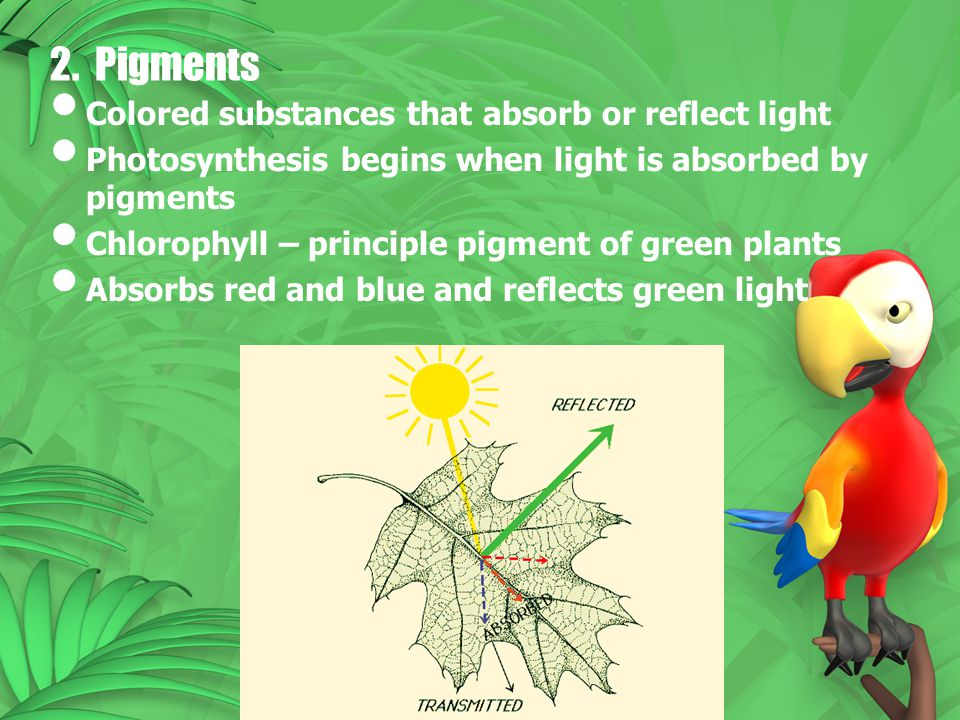 2. Pigments Colored substances that absorb or reflect light Photosynthesis begins when light is absorbed by pigments Chlorophyll – principle pigment o