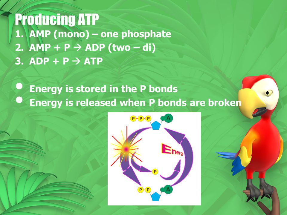 Producing ATP 1.AMP (mono) – one phosphate 2.AMP + P  ADP (two – di) 3.ADP + P  ATP Energy is stored in the P bonds Energy is released when P bonds