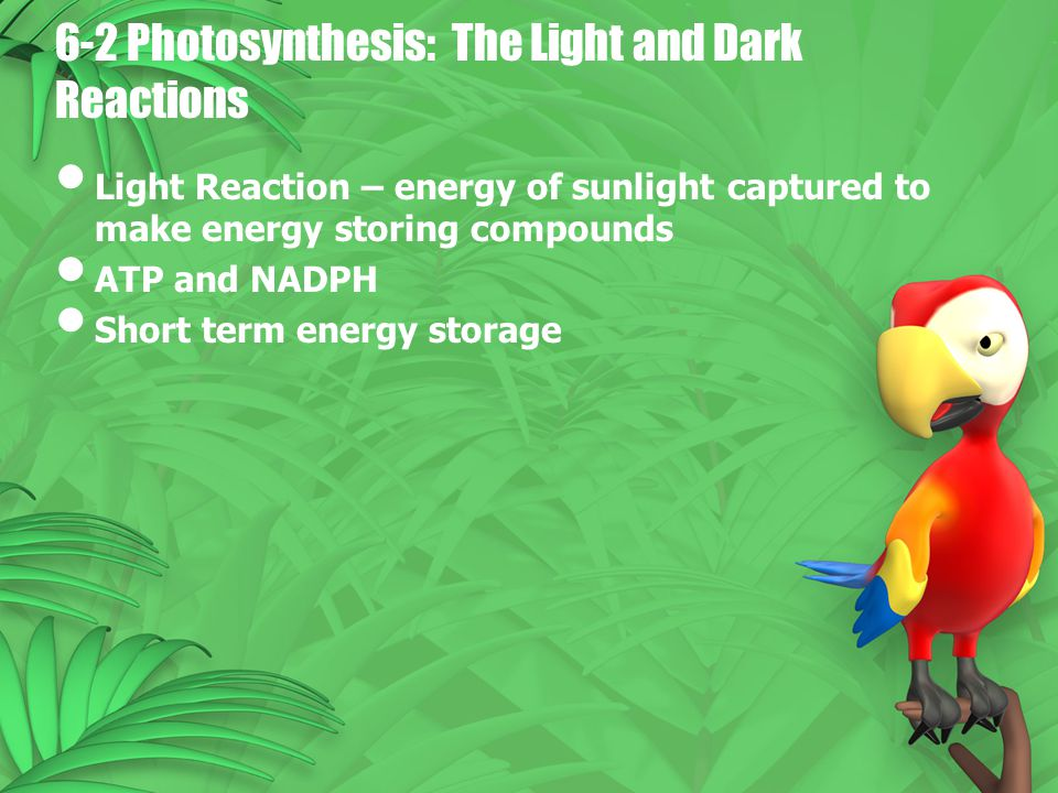 6-2 Photosynthesis: The Light and Dark Reactions Light Reaction – energy of sunlight captured to make energy storing compounds ATP and NADPH Short ter