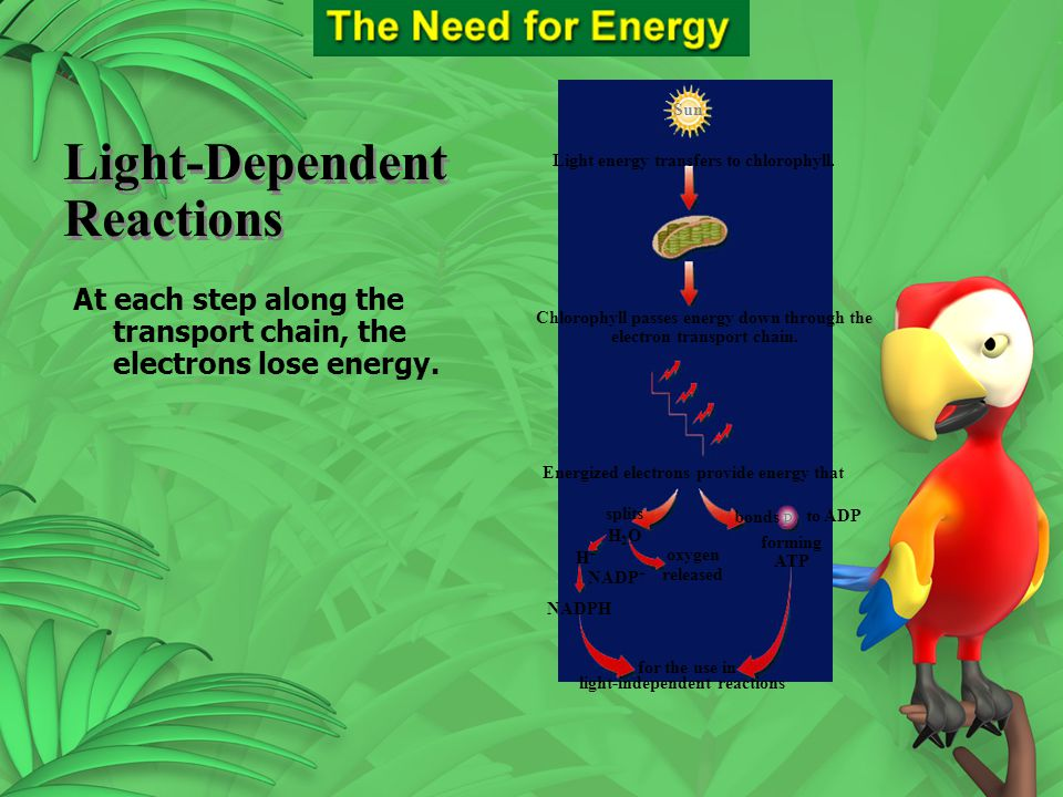 Section 9.2 Summary – pages 225-230 Light-Dependent Reactions Sun Chlorophyll passes energy down through the electron transport chain. for the use in