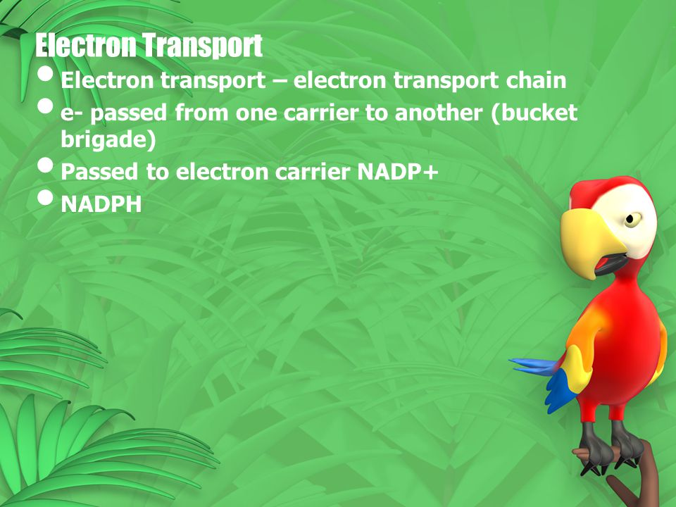 Electron Transport Electron transport – electron transport chain e- passed from one carrier to another (bucket brigade) Passed to electron carrier NAD