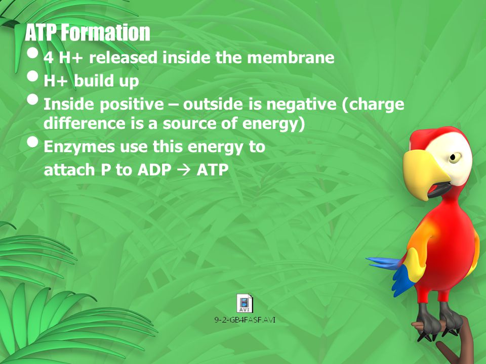 ATP Formation 4 H+ released inside the membrane H+ build up Inside positive – outside is negative (charge difference is a source of energy) Enzymes us