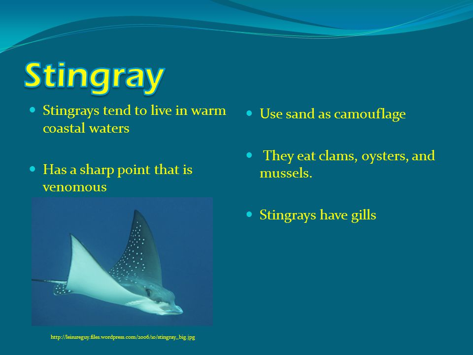 Stingrays tend to live in warm coastal waters Has a sharp point that is venomous Use sand as camouflage They eat clams, oysters, and mussels. Stingray