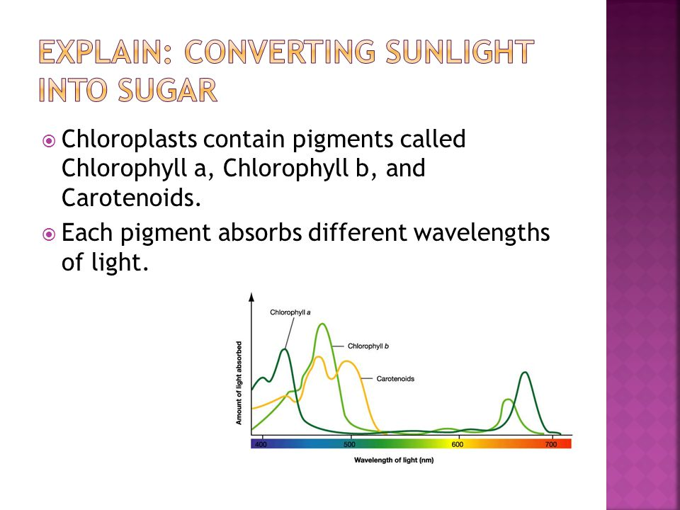  Notice that chloroplasts absorb blue-violet and red-orange light very well.