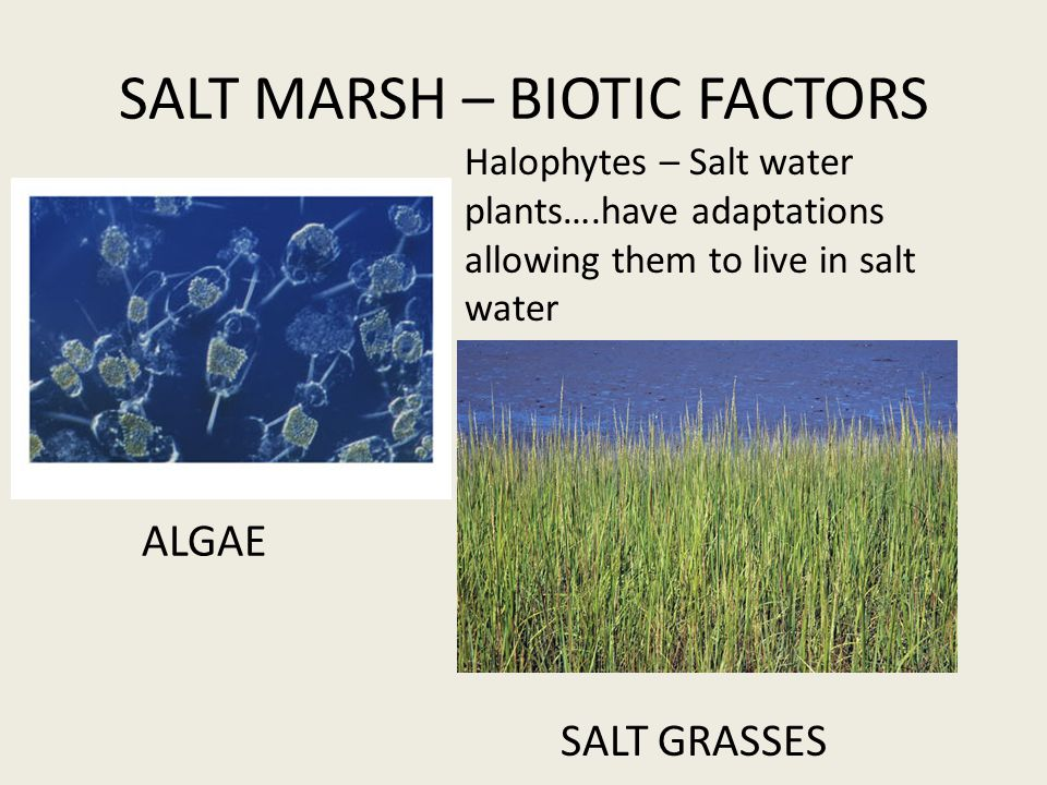 SALT GRASSES Halophytes – Salt water plants….have adaptations allowing them to live in salt water ALGAE