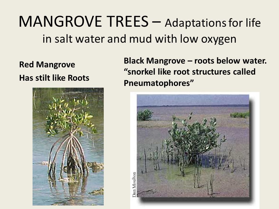 MANGROVE TREES – Adaptations for life in salt water and mud with low oxygen Red Mangrove Has stilt like Roots Black Mangrove – roots below water.