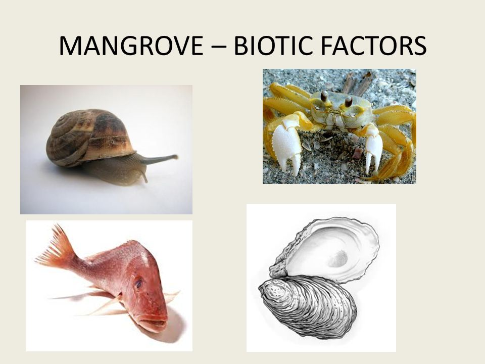 MANGROVE – BIOTIC FACTORS