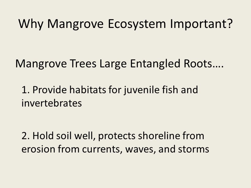 Why Mangrove Ecosystem Important. Mangrove Trees Large Entangled Roots….