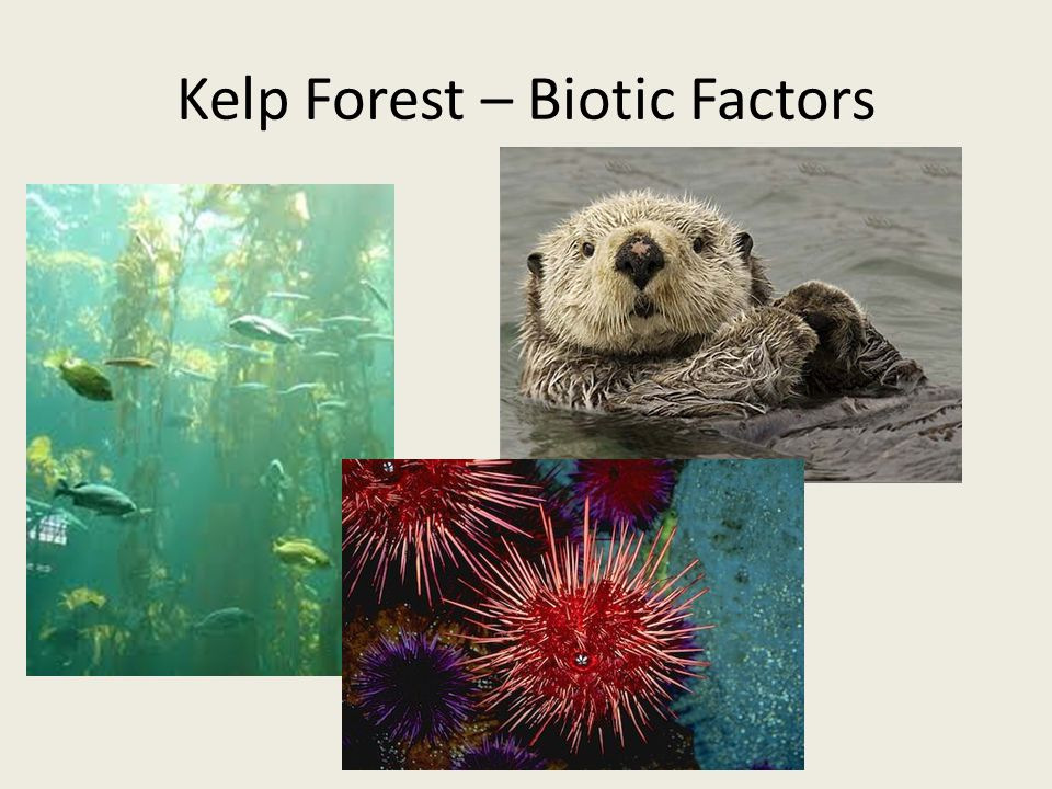 Kelp Forest – Biotic Factors