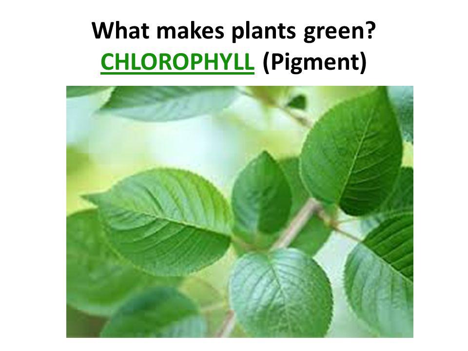 CHLOROPHYLL (Pigment)