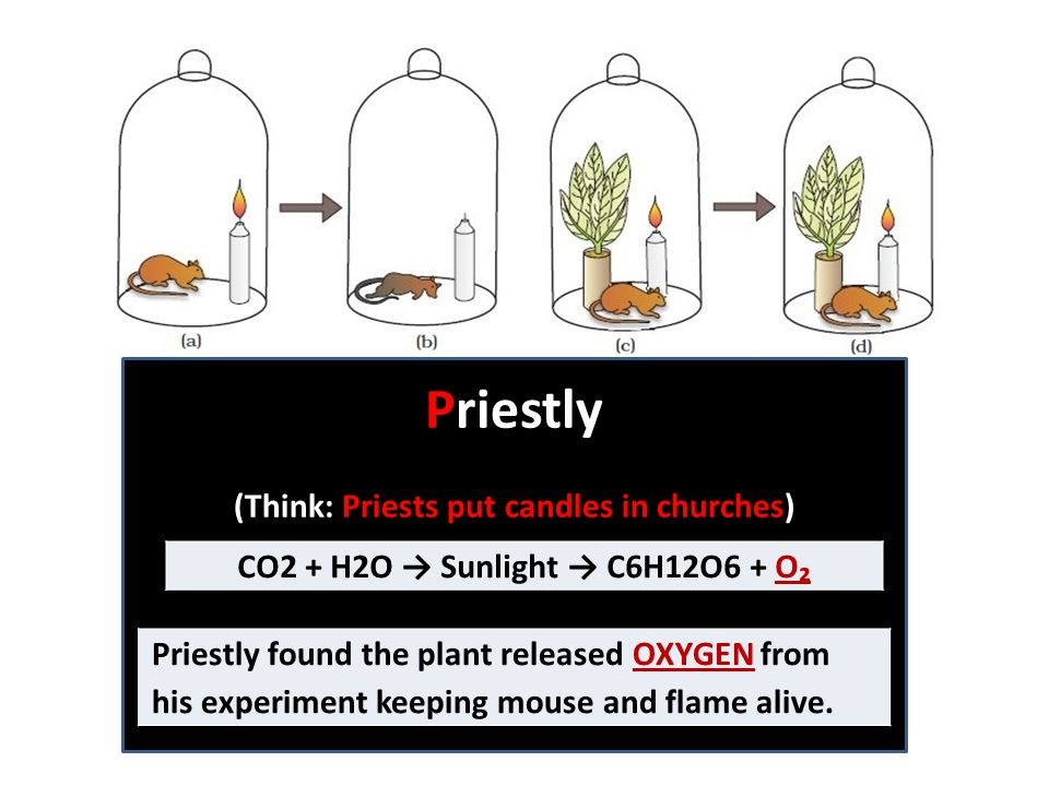 Priestly (Think: Priests put candles in churches) Priestly found the plant released OXYGEN from his experiment keeping mouse and flame alive.