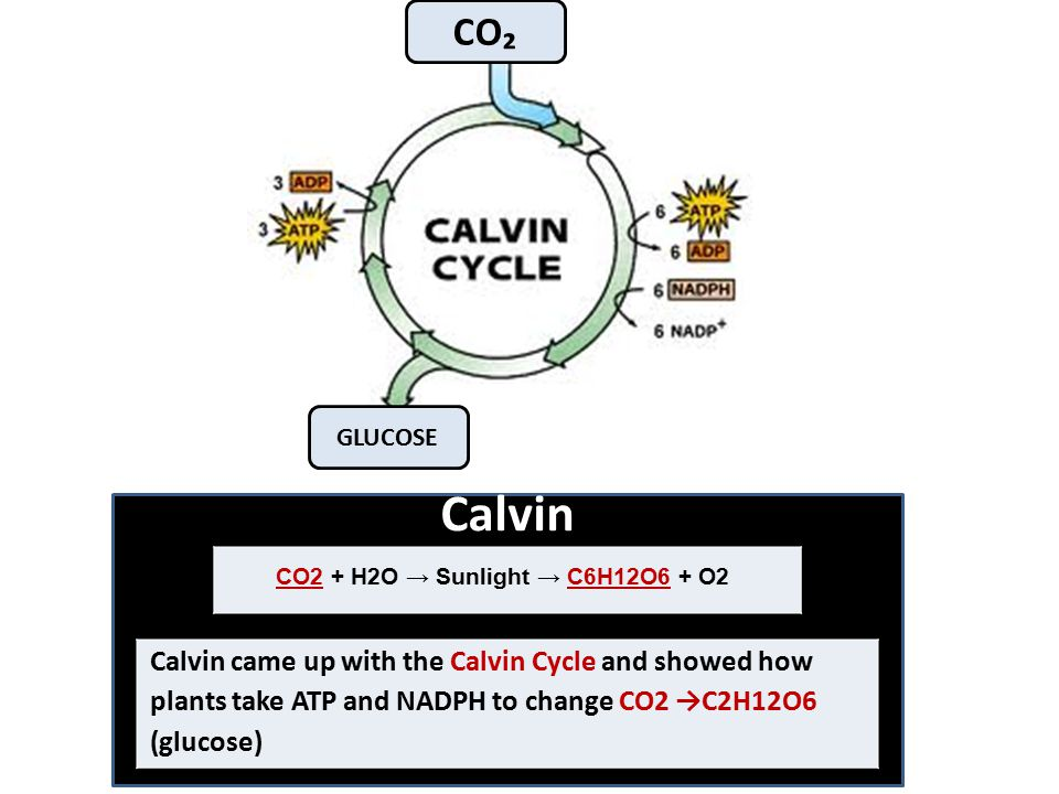 Calvin Calvin came up with the Calvin Cycle and showed how plants take ATP and NADPH to change CO2 →C2H12O6 (glucose) CO2 + H2O → Sunlight → C6H12O6 +