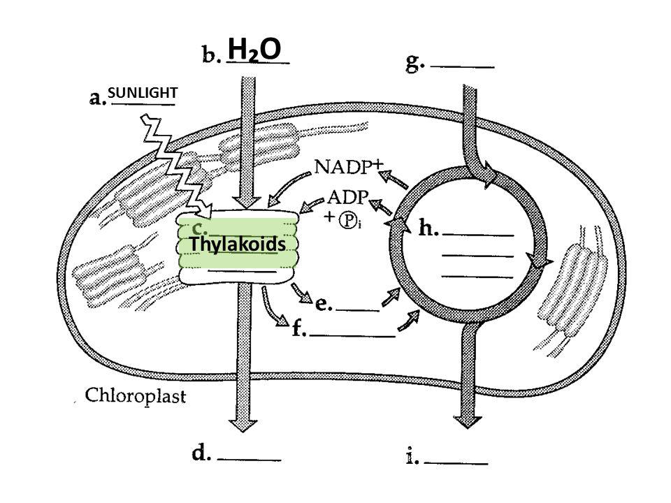 H₂OH₂O Thylakoids