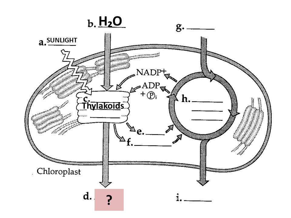 H₂OH₂O SUNLIGHT Thylakoids