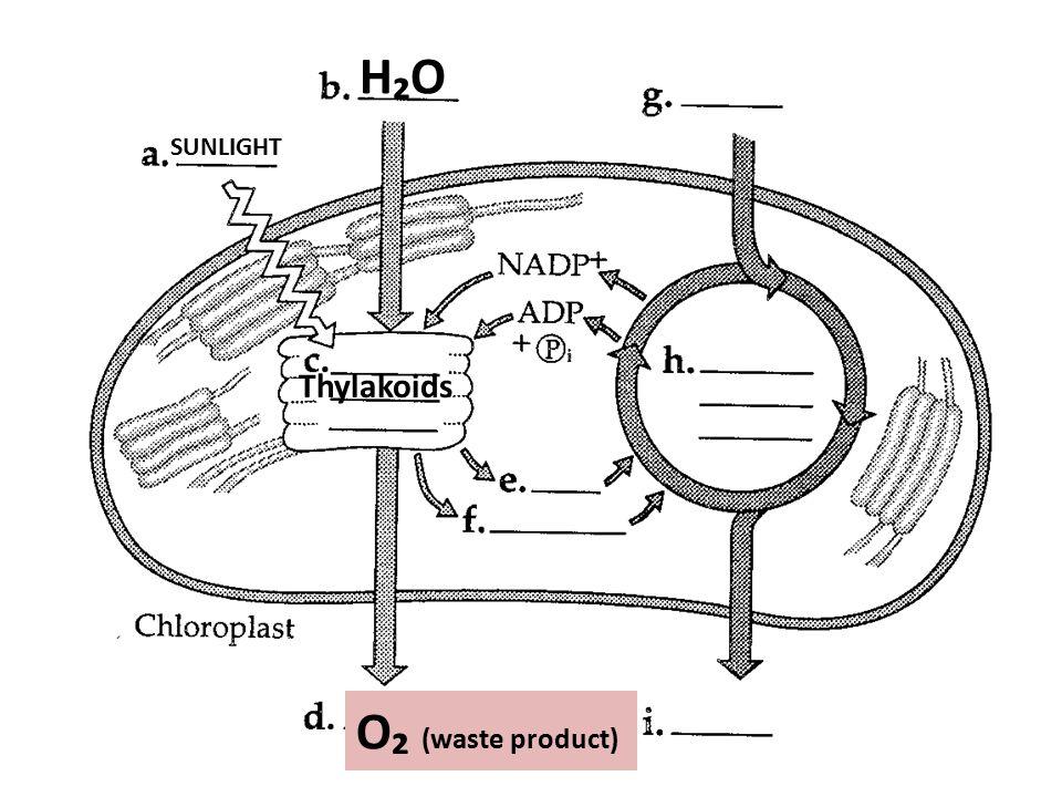 H₂OH₂O SUNLIGHT Thylakoids O₂ (waste product)