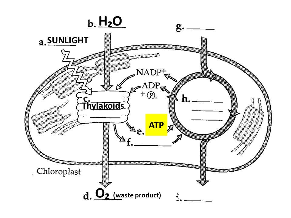 H₂OH₂O SUNLIGHT Thylakoids ATP O₂ (waste product)