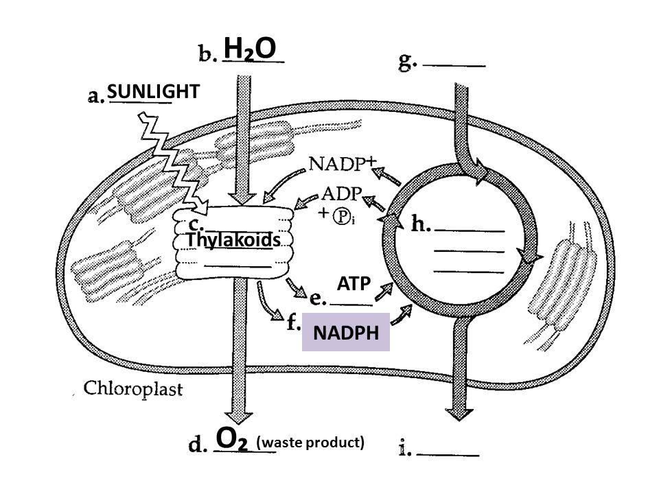 H₂OH₂O SUNLIGHT Thylakoids ATP NADPH O₂ (waste product)