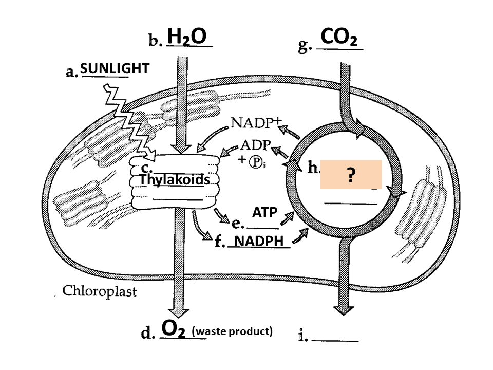 H₂OH₂O SUNLIGHT Thylakoids ATP NADPH CO₂ O₂ (waste product)