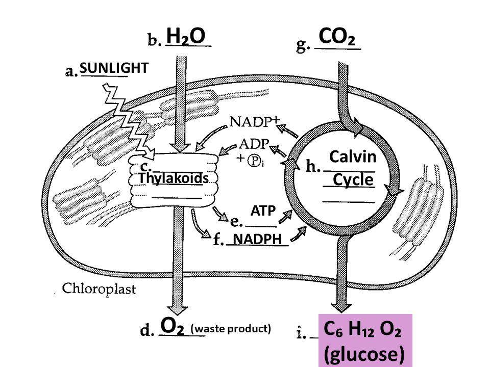 H₂OH₂O SUNLIGHT Thylakoids ATP NADPH Calvin Cycle CO₂ C₆ H₁₂ O₂ (glucose) O₂ (waste product)