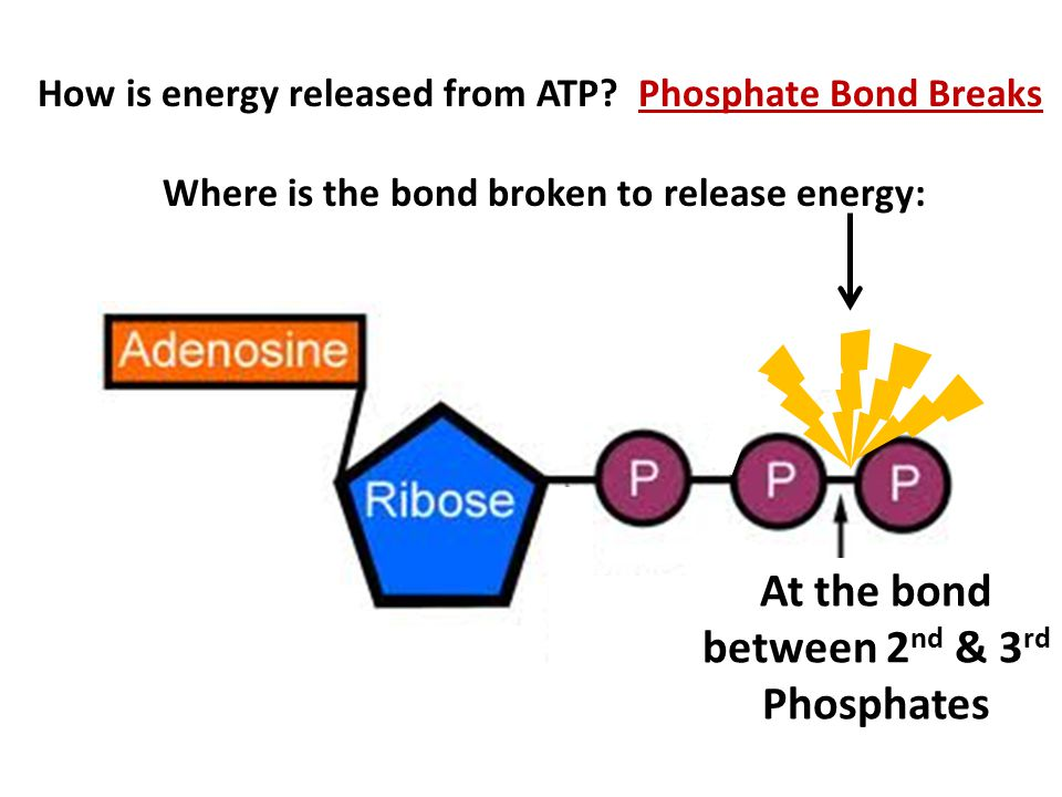 How is energy released from ATP.