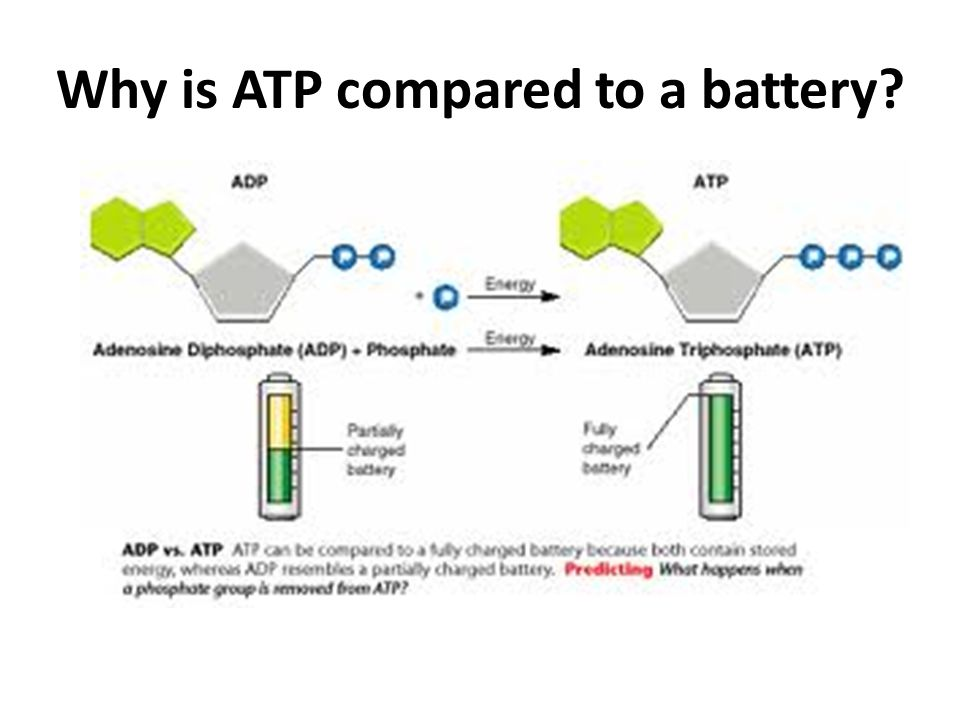 ATP contains energy like a battery ADP + P (Uncharged Battery) ATP (Charged Battery)