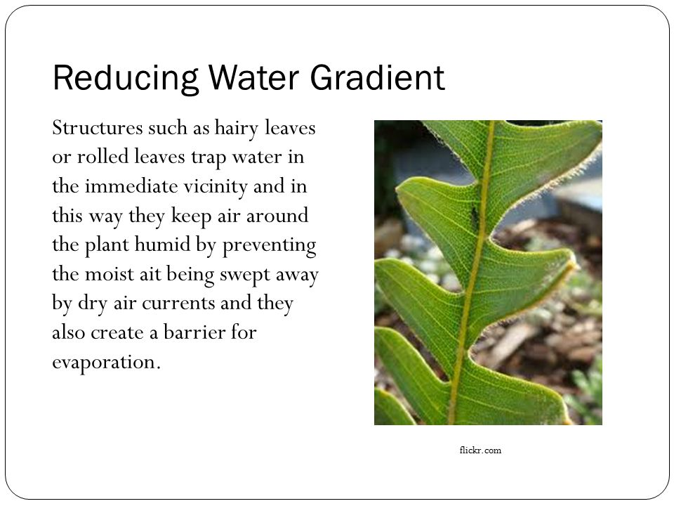 Reducing Water Gradient Structures such as hairy leaves or rolled leaves trap water in the immediate vicinity and in this way they keep air around the