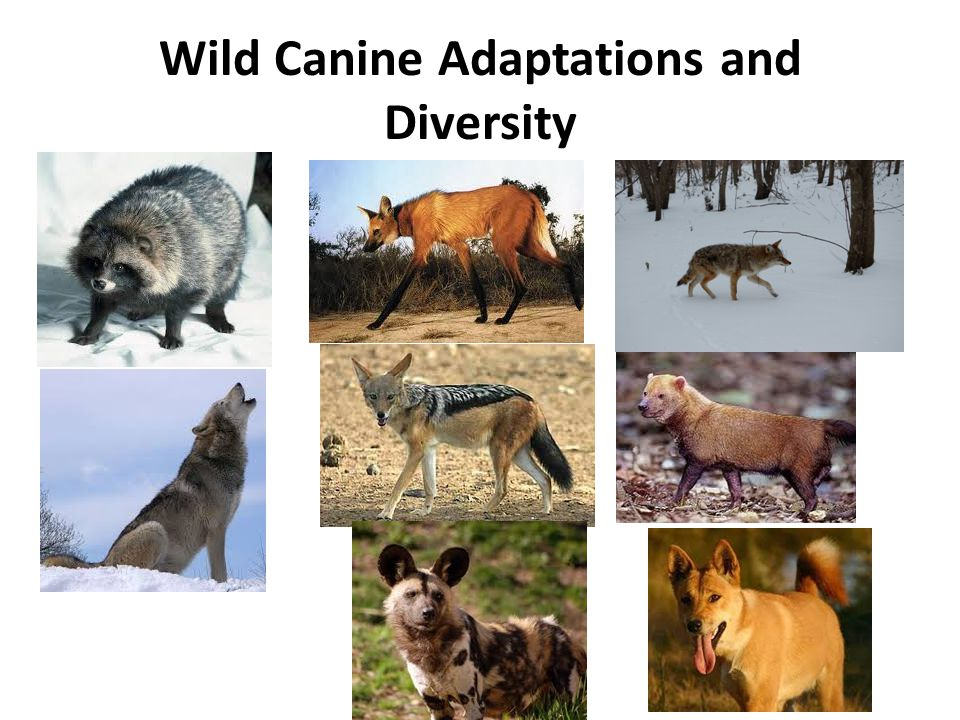 Wild Canine Adaptations and Diversity